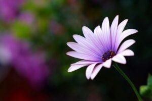 marguerite, flower, blossom