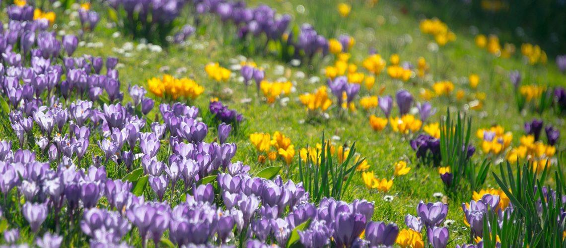 crocus, spring, blossom